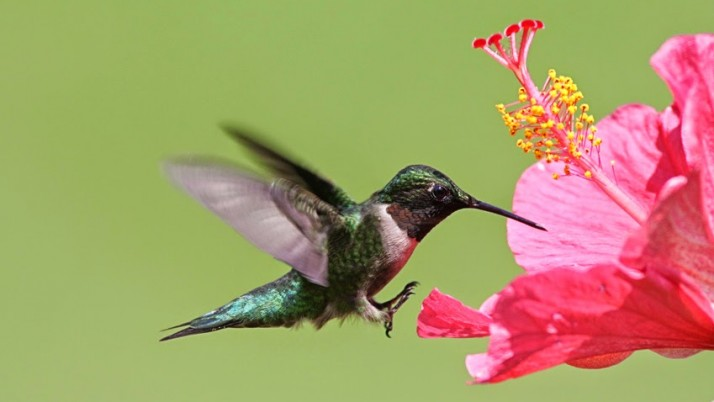 Martinique l'île aux Fleurs! L'Hibiscus et ses vertus