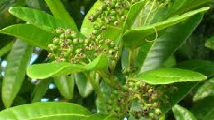 Le Bois d'Inde et ses vertus cachées